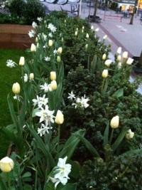Buxus met Tulipa Francoise en Narcissus 'Talia'