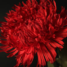 Rode chrysant