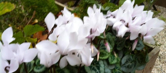 cyclamen in de tuin