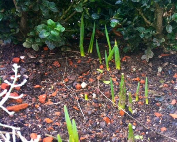Narcissus 'Thalia' en Tulipa darwin 'Queen of the Night'