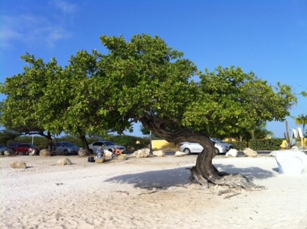 Divi divi boom op Eagle beach Aruba         foto MvL