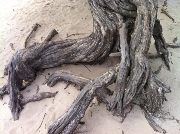 Wortel van Divi divi boom