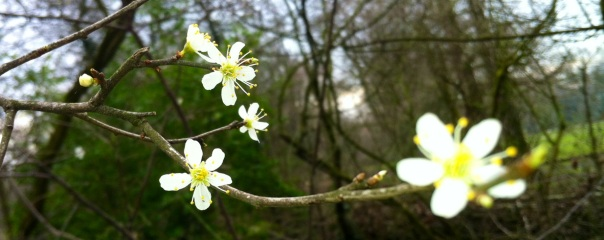 Prunus     foto MvL