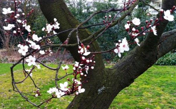 Prunusin het Vondelpark     foto MvL