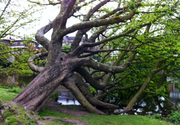 liggende boom in het Vondelpark