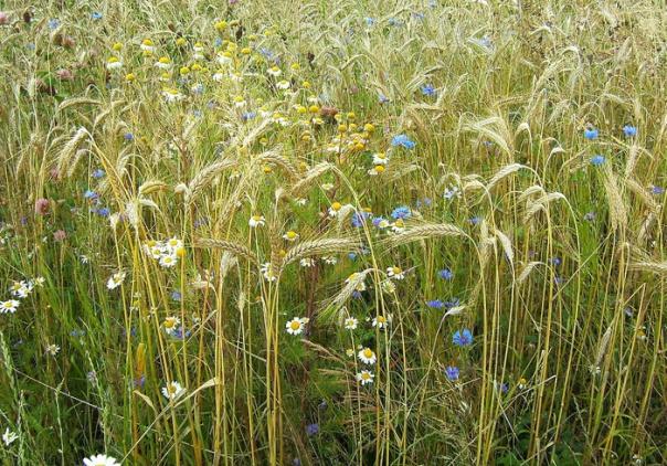 korenbloemen tussen het graan