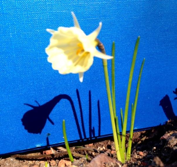 Narcissus 'Spoirot'  foto MvL