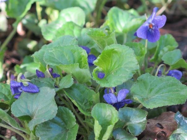 Maarts viooltje foto: Janine ten Horn