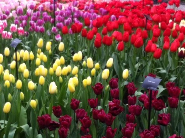 Tulpen uit de Keukenhof  Foto JP