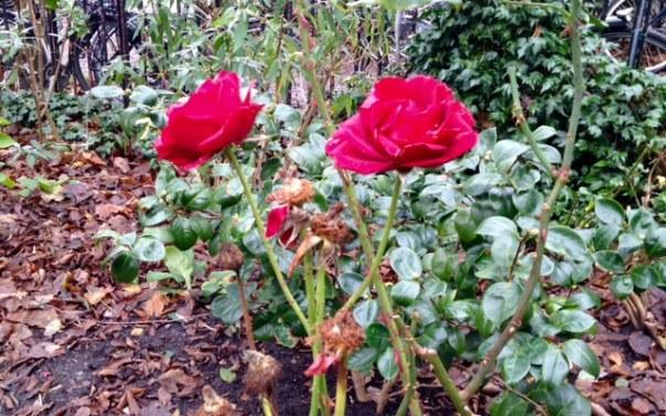roos 2 eind nov