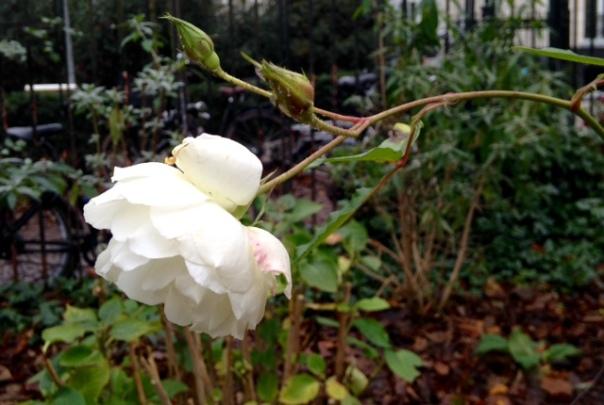 roos eind nov