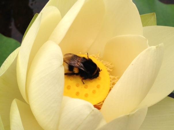lotus-met-hommel