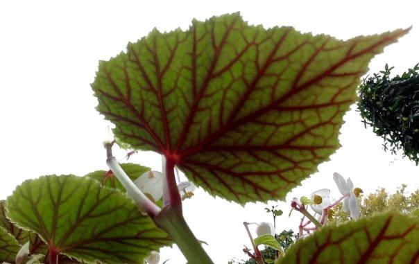 begonia-3