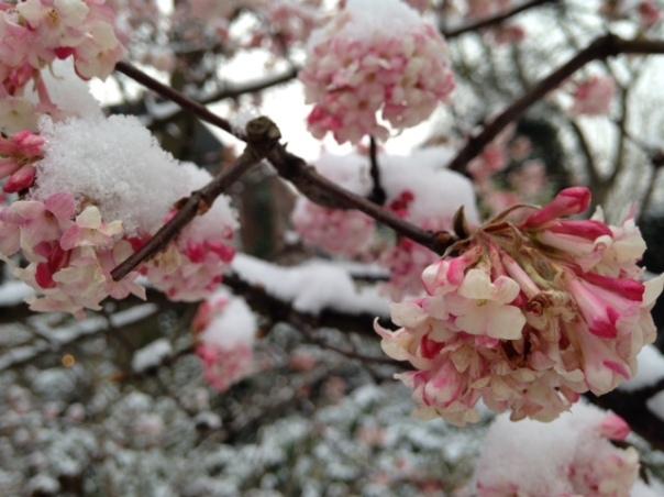 virburnum-sneeuw