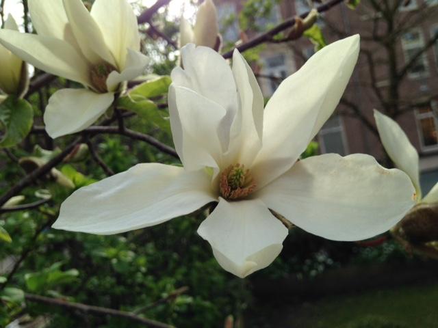 magnolia mrt 2017